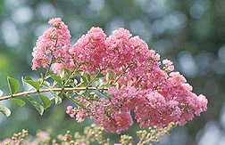 Crape myrtle in bloom: Click here for full photo caption.