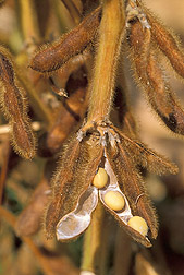 Photo: Mature soybeans, sitting within their pod. The oil from soybeans mixed with ferulic acid esters makes SoyScreen, an effective sunscreen. Link to photo information