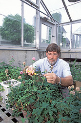 Plant physiologist harvests red clover from the greenhouse: Click here for full photo caption.