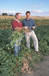 Soil microbiologist and geneticist examine roots of potatoes: Click here for full photo caption.