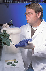 Technician prepares to extract RNA from samples of potato leaves: Click here for full photo caption.