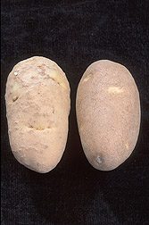 Photo: A potato infected with root-knot nematode (left) and a healthy potato. Link to photo information