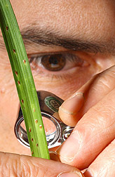 Entomologist takes a closer look at a fern scale: Click here for full photo caption.
