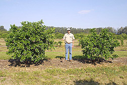 The director of the Kerr Center for Sustainable Agriculture stands between two grapefruit trees: Click here for full photo caption.