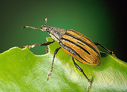 Adult citrus root weevil. Click the image for additional information about it.