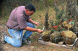 Entomologist labels root balls: Click here for full photo caption.