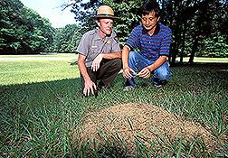 Natural resource director and entomologist prepare to offer fire ants experimental bait: Click here for full photo caption.