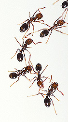Fire ants: Click here for full photo caption.