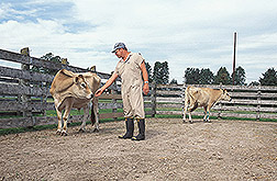Animal caretaker tends to two jersey steers: Click here for full photo caption.
