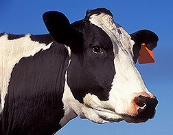 Photo: A dairy cow.