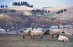 Sheep: Click here for full photo caption.