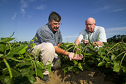 Technician and geneticist examine seed and pod quality of a pinkeye-type southernpea: Click here for full photo caption.