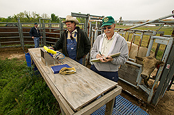 Animal scientist and technicians weigh stocker cattle: Click here for full photo caption.