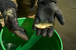 Green sunfish: Click here for full photo caption.