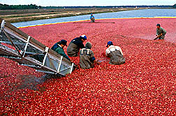 Cranberries being harvested. Click here for full photo caption.