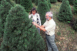 Laurie Koelling and Robert Haack check a Scotch pine for pine shoot beetles. Click here for full photo caption.