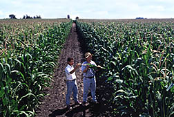 A geneticist and plant breeder compare performance of the low-phytic-acid corn (right) with a normal hybrid growing in the field.