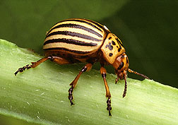 Colorado potato beetle. Click the image for additional information about it.