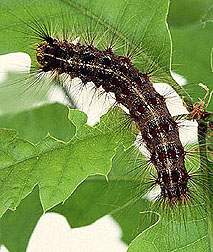 Gypsy moth caterpillar. Link to photo information
