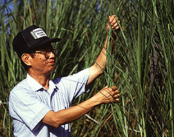 Peter Tai examines sugarcane