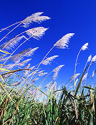 Photo: An experimental ARS sugarcane field near Canal Point, Florida. Link to photo information