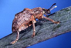 Melaleuca leaf weevil.