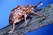 Melaleuca leaf weevil