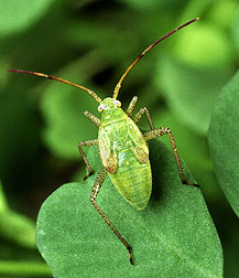 The alfalfa bug
