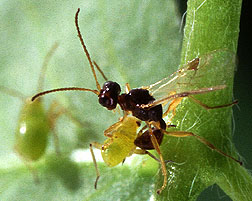 Aparasitic wasp
