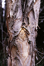 Photo:Thin layers of peeling bark give melaleuca its nickname paperbark tree. Link to photo information