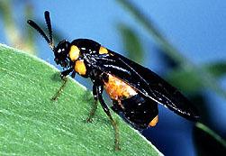 Melaleuca sawfly