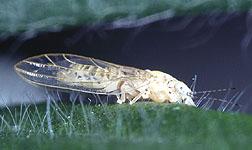 Adult melaleuca psyllid