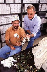 Examining cotton bolls