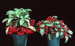 Ardesia's berries