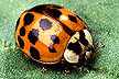 Asian multicolored lady beetle, Harmonia axyridis.