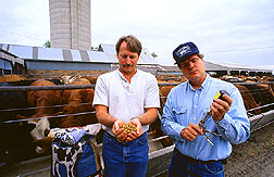 Microbiologist Fred Tatum and veterinarian Robert Briggs demonstrate techniques for administering vaccines for shipping fever.