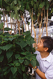 Plant pathologist Ing-Ming Lee with poinsettias.