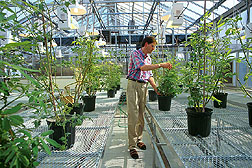 Geneticist uses protoplast fusion to construct a somatic hybrid that combines the wild species Solanum ochranthum and a tomato.