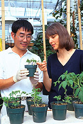 Photo: Molecular biologist Yan Zhao and plant pathologist examine a tomato plant infected with potato spindle tuber viriod. Link to photo information