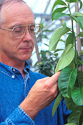 Chemist examines the lower surface of Etrog citron leaves.