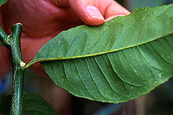 This lower leaf of Etrog citron shows typical symptoms of viroid infection.