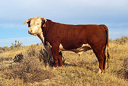 An exemplary Line 1 Hereford bull.