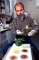 Plant pathologist Bryan Bailey holds a damaged spotted knapweed that was sprayed with Nep1 a day earlier. Click here for full photo caption.