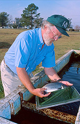 Fish biologist Gerald Ludwig examines a market-size sunshine bass. Click here for full photo caption.