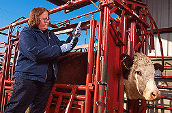Veterinarian Carole Bolin prepares to inject a cow with the new vaccine for bovine leptospirosis.
