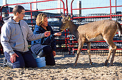 A white-tailed deer being used to study tuberculosis in its wild counterparts. Click here for full photo caption.