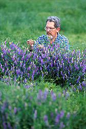 Photo: Geneticist Thomas Devine inspects flowering of hairy vetch plants. Early-flowering hairy vetch is a more useful winter cover crop for farmers. Link to photo information