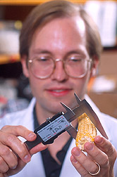 Geneticist Ed Buckler measures a corn ear. Link to photo information