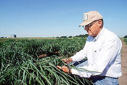 Ken Vogel examines switchgrass plants. Link to photo information