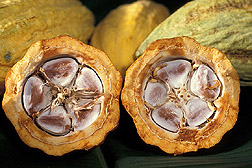 Cross section of cocoa beans in a cacao pod. Link to photo information
